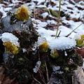 フククジュソウに冷たい雪 P1010910