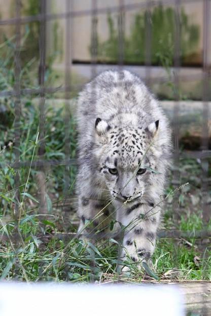 多摩動物公園111029-ユキヒョウの子供達 スカイくん-07