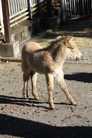 多摩動物公園111225-モウコノウマ ハーン-04