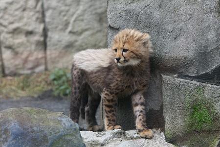 多摩動物公園110603-チーターの赤ちゃん-01