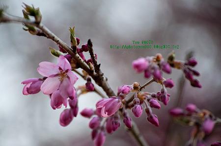 甘楽町宝積寺のしだれ桜
