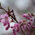 Photos: 甘楽町宝積寺のしだれ桜