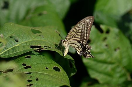 アゲハチョウ科 ナミアゲハ♀