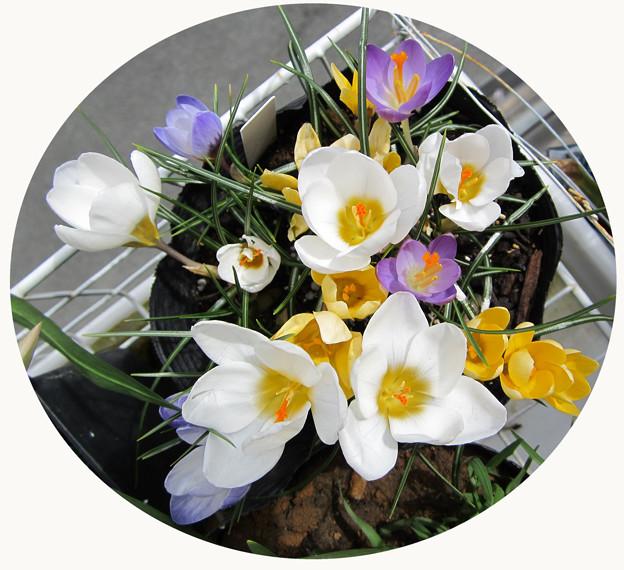 クロッカス 混合4種咲きました