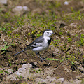 Photos: ハクセキレイ♀(White Wagtail) P1040316_R