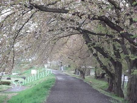 桜のトンネルも・・