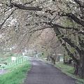 Photos: 桜のトンネルも・・