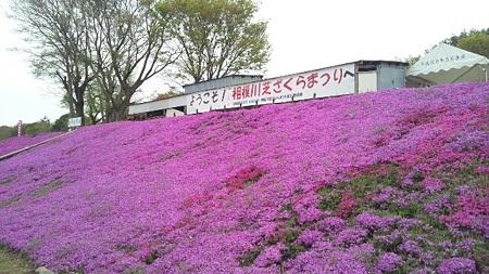 相模川芝桜まつり