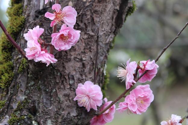 梅の樹 ☆