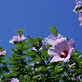 Photos: 真夏に咲く花
