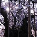 Photos: 逆光神代桜+