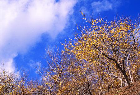 青空と蝋梅