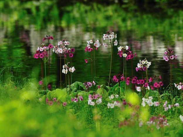 水辺に咲くクリンソウ