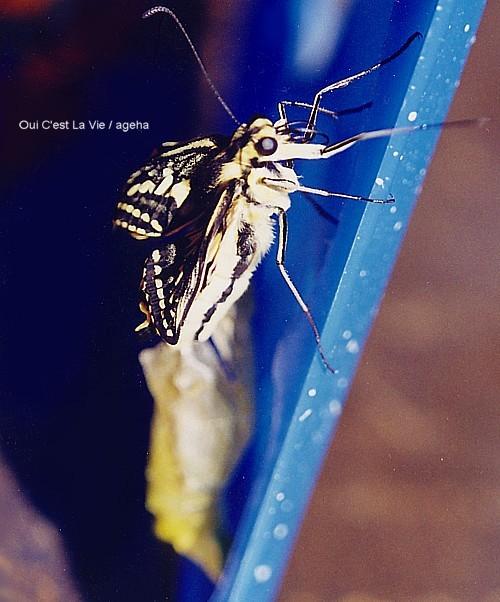 キアゲハ飼育(羽化の瞬間。コンパクトに収納されていた翅、そしてまだ二本の口吻。)