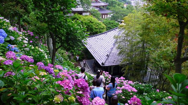Photos: 長谷寺の紫陽花