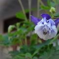 お家の前に咲いた小さなお花