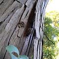 Photos: 樹の皮の裏で鳴いていたコオロギ