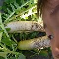 Photos: 大根の収穫と甥