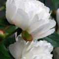 White Peonies 6-12-12