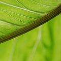 写真: The leaf of Jack-in-the-pulpit