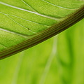 The leaf of Jack-in-the-pulpit