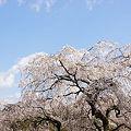 写真: 奥山田枝垂れ桜3