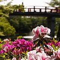 Photos: 赤い橋とつつじ