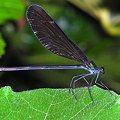 写真: 翅黒トンボ