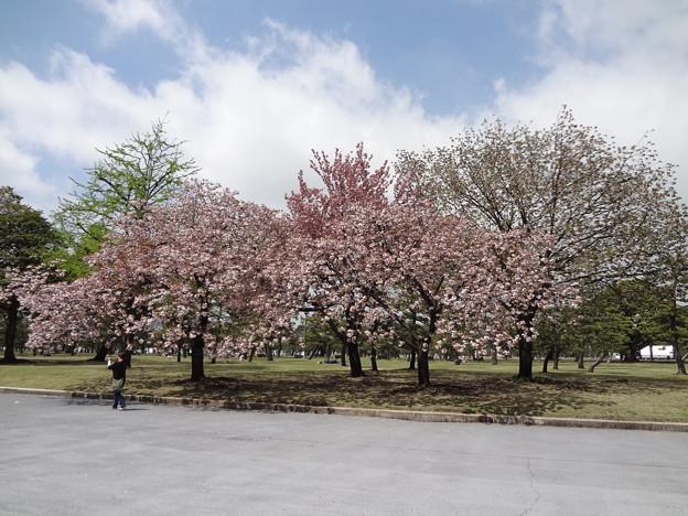 皇居外苑の八重桜05