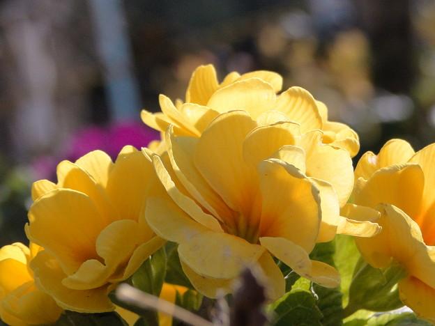 胸に咲いた黄色い花‥。