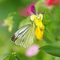 花壇のモン白蝶