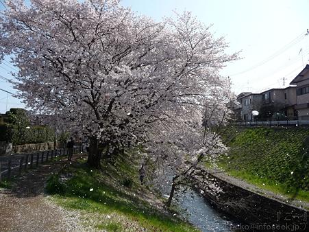 120412-千本桜 (1)