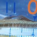 ナンヨウボウズハゼ09D-20111112