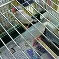 写真: シルバー文鳥。 綺麗なペアです。