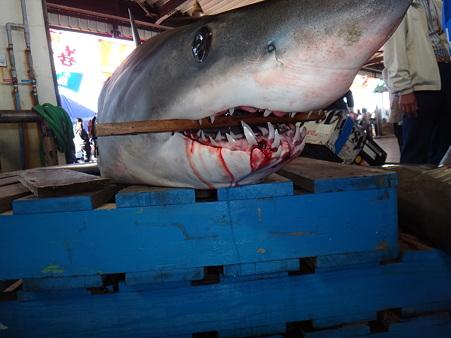 サメ (1)