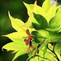 写真: 2012.06.18 三渓園 紅葉