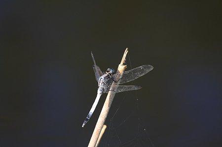 2011.07.12 和泉川 竹先にシオカラトンボ