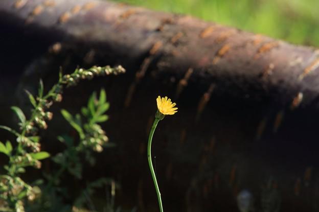 2011.09.22 和泉川 倒木の桜の脇でブタナ