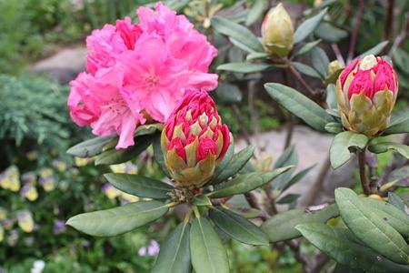 ピンクの花とつぼみ