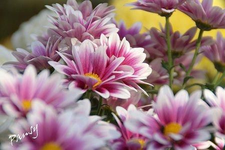 菊の花・・1