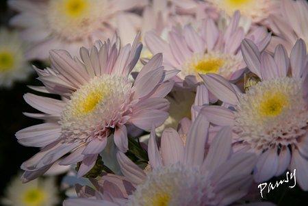 菊の花・・2