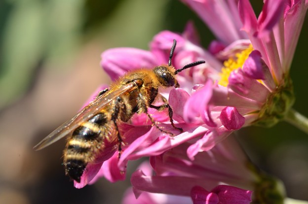 菊の花とキンケハラナガツチバチ?