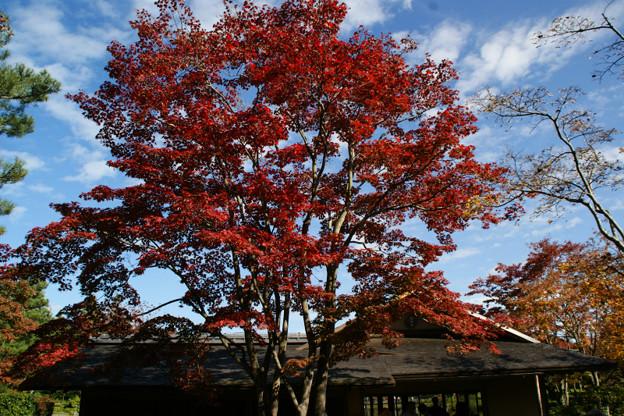 写真: 紅葉のシンボル木!(111112)