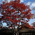 Photos: 紅葉のシンボル木!(111112)