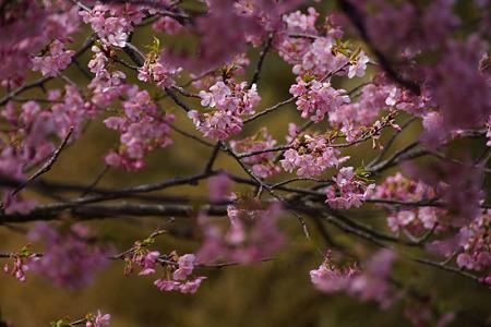 河津桜が見頃!(120319)