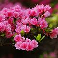 写真: ピンクのツツジ!