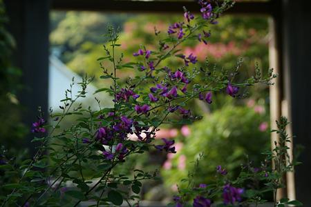 萩の咲く山門! (110910)
