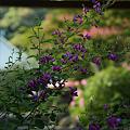 Photos: 萩の咲く山門! (110910)