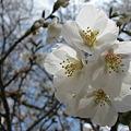 写真: 桜 (2)