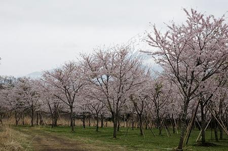 曇りのち桜と富士山1